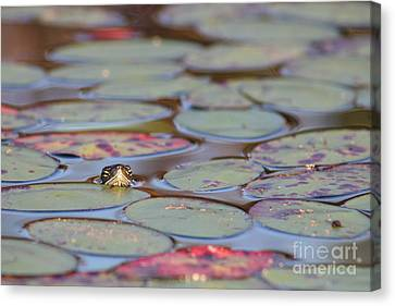 Turtle And Lily Pads Canvas Print
