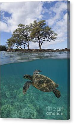 Turtle At Makena Landing Canvas Print