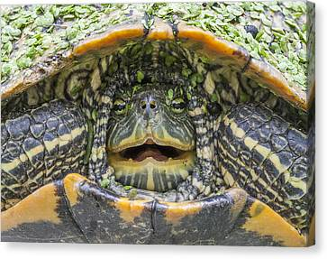 Turtle Covered With Duckweed Canvas Print