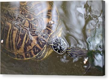 Turtle Kiss Canvas Print by Julie Cameron