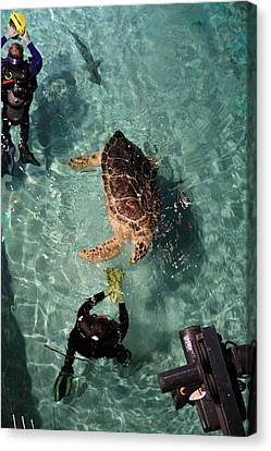 Turtle - National Aquarium In Baltimore Md - 121217 Canvas Print by DC Photographer