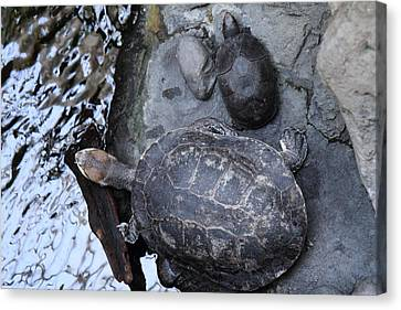 Turtle - National Aquarium In Baltimore Md - 12126 Canvas Print by DC Photographer