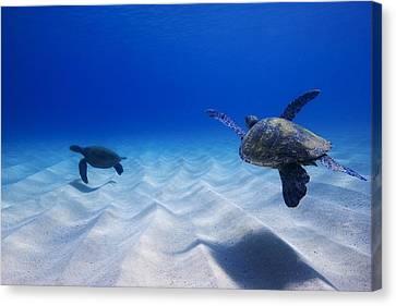 Turtle Pair Canvas Print by Sean Davey