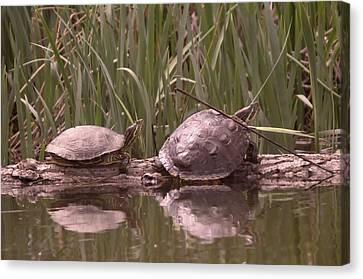 Turtle Struggling To Rest On A Log With Its Buddy Canvas Print by Jeff Swan
