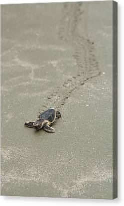 Turtle Tracks Canvas Print by Patricia Schaefer