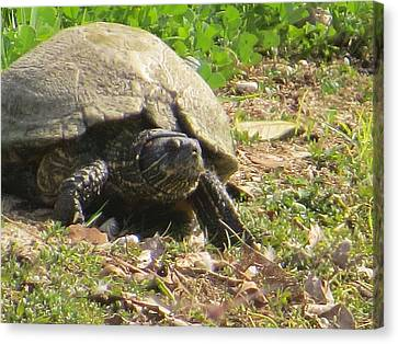 Canvas Print featuring the photograph Turtle Up Close by Ella Kaye Dickey