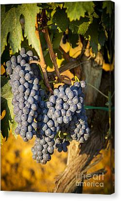 Tuscan Vineyard Canvas Print by Brian Jannsen