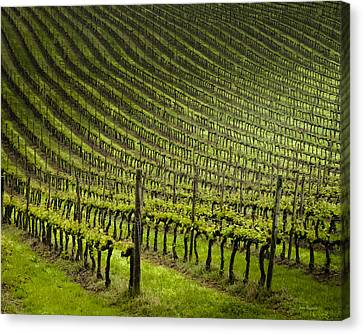 Tuscan Vineyard Series 1 Canvas Print by John Pagliuca