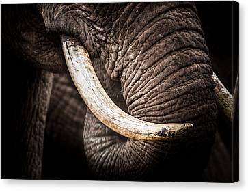 Canvas Print featuring the photograph Tusks And Trunk by Mike Gaudaur