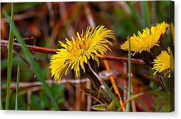 Tussilago Farfara Sign Of Spring. Canvas Print by Leif Sohlman
