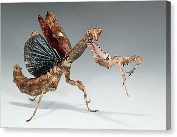Twig Mantis (popa Spurca) Canvas Print by Tomasz Litwin