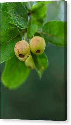 Canvas Print featuring the photograph Twin Berries by Jacqui Boonstra