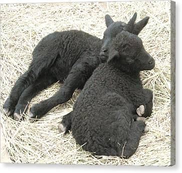 Twin Black Lambs Canvas Print by Cathy Long