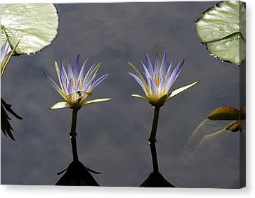Twin Blue Egyptian Lotus Waterlilies And Dragonfly Canvas Print by Byron Varvarigos