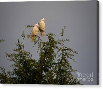 Twin Cockatoos Canvas Print by Bev Conover