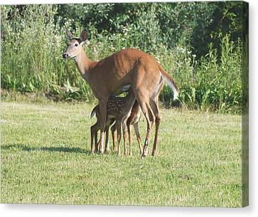Twin Fawns Nursing Canvas Print by Amy Porter