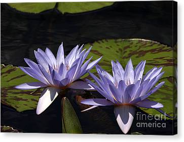 Twin Lavender Tropical Waterlilies Canvas Print