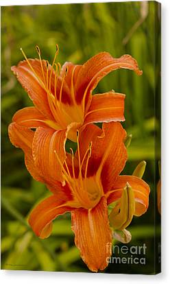 Twin Orange Trumpet Lilies Canvas Print