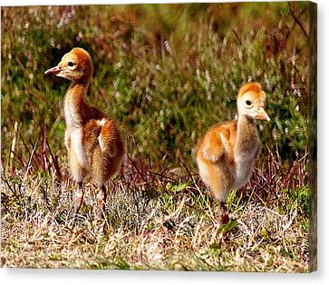 Canvas Print featuring the photograph Twin Sandhill Chicks 000  by Chris Mercer