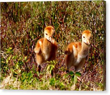 Canvas Print featuring the photograph Twin Sandhill Chicks by Chris Mercer