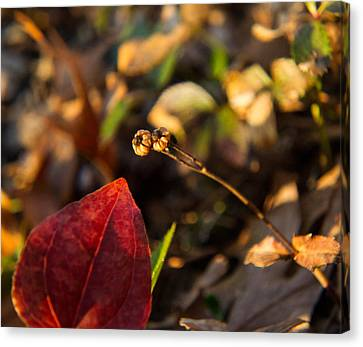Magnoliopsida Canvas Print - Twin Spotted Wintergreen Pods by Douglas Barnett