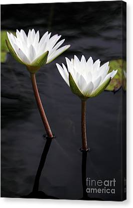 Twin White Water Lilies Canvas Print by Sabrina L Ryan