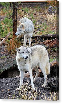 Canvas Print featuring the photograph Twin Wolves by Athena Mckinzie