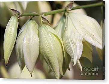 Twist-leaf Yucca Canvas Print