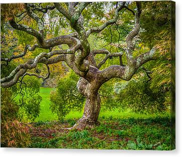 Canvas Print featuring the photograph Twisted Maple by Steve Zimic