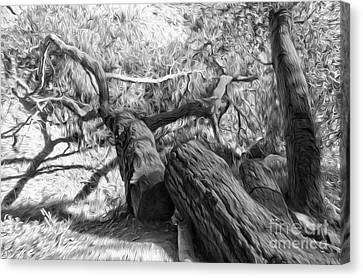 Twisted Tree - 03 Canvas Print by Gregory Dyer