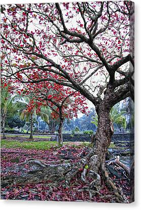 Twisted Tree Of Hilo Canvas Print by Daniel Hagerman