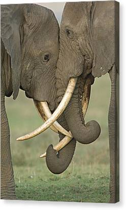 Two African Elephants Fighting Canvas Print by Panoramic Images