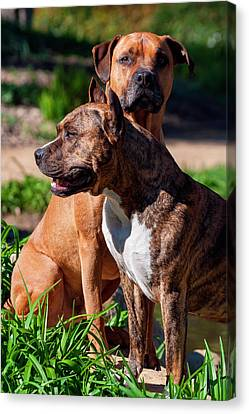 Two American Staffordshire (mr Canvas Print