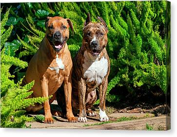 Two American Staffordshire Sitting Canvas Print