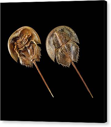 Two Atlantic Horseshoe Crabs Canvas Print