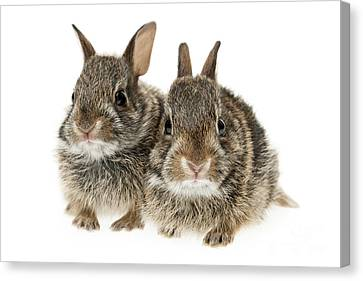 Two Baby Bunny Rabbits Canvas Print
