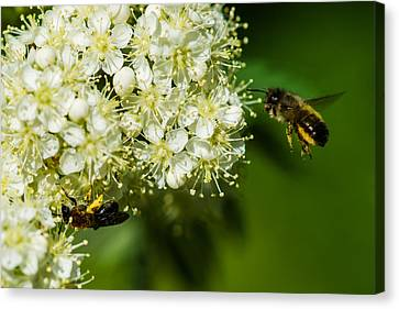 Two Bees On A Rowan Truss - Featured 3 Canvas Print by Alexander Senin