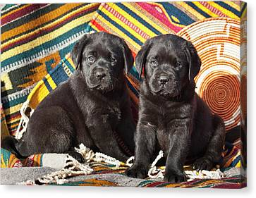 Two Black Labrador Retriever Puppies Canvas Print by Zandria Muench Beraldo
