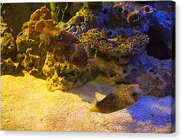 Two Blow Fish  Canvas Print by Chris Flees