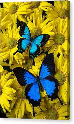 Two Blue Butterflies Canvas Print by Garry Gay
