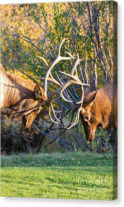 James Insogna Canvas Print - Two Bull Elk Sparring by James BO  Insogna