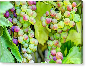 Two Bunches Canvas Print