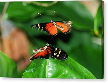 Two Butterflies  Canvas Print by Jeff Swan