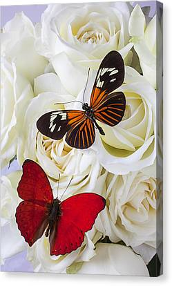 Two Butterflies On White Roses Canvas Print by Garry Gay