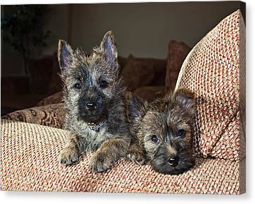 Two Cairn Terrier Puppies Lying Canvas Print by Zandria Muench Beraldo