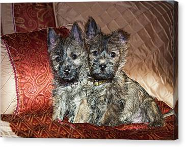 Two Cairn Terrier Puppies Sitting Canvas Print by Zandria Muench Beraldo