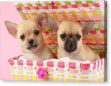 Two Chihuahuas Canvas Print