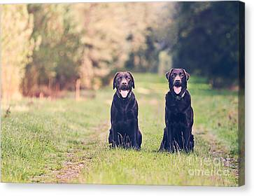 Two Chocolate Labradors On Forest Path Canvas Print