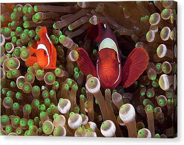 Two Clownfish (amphiprion Ocellaris Canvas Print by Jaynes Gallery