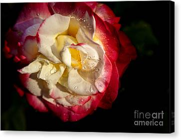 Two Color Rose Canvas Print by David Millenheft